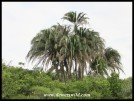 Wild Date Palm blowing in the wind
