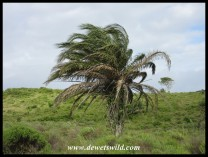 Wild Date Palm
