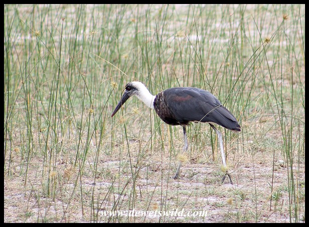 Woolly-necked Stork