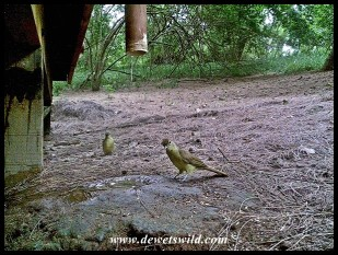 Yellow-bellied Greenbuls
