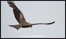 Curious Yellow-billed Kite flying overhead
