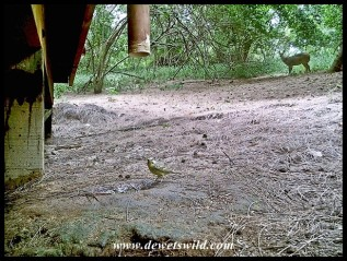 Yellow-fronted Canary, with a bushbuck in the background