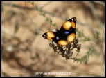 Yellow Pansy butterfly
