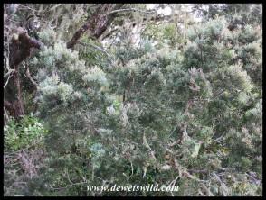 Outeniqua Yellowwood (Podocarpus falcatus) leaves and branches