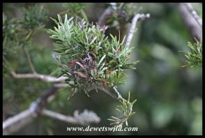 Outeniqua Yellowwood (Podocarpus falcatus) leaves