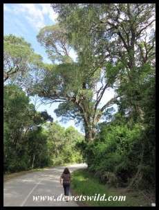 Outeniqua Yellowwoods (Podocarpus falcatus) towering over the road near Nature's Valley