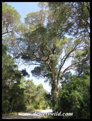 Majestic Outeniqua Yellowwood (Podocarpus falcatus)