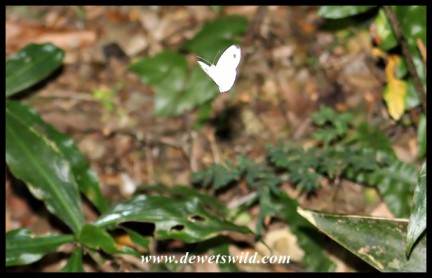 African Wood White