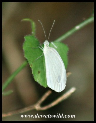 African Wood White (photo by Joubert)