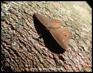 Boisduval's Tree Nymph (male)