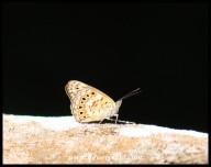 Boisduval's Tree Nymph (female)