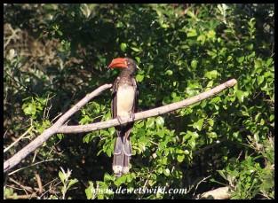 Crowned Hornbill