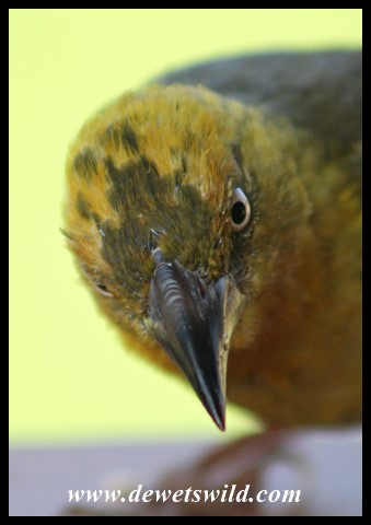 Inquisitive Cape Weaver