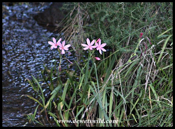 Red River Lilies