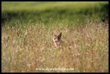 Shy Black-backed Jackal