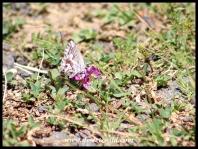 Geranium Bronze butterfly