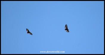 Jackal Buzzards