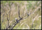 Cape Wagtails
