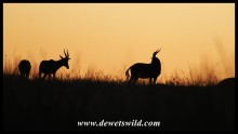 Blesbok at sunrise