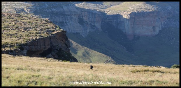 Black Wildebeest dwarfed by the majestic landscape