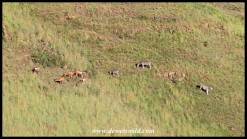 Plains Zebras and Red Hartbeest mixing on the slopes