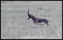Skittish blesbok