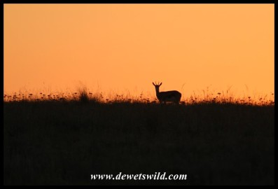 Springbok at sunrise