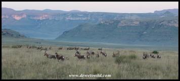 Big herd of blesbok at Golden Gate