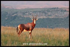 Blesbok in the golden light of a Golden Gate sunrise