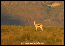 Springbok in the golden light of a Golden Gate sunrise
