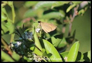 False Swift butterfly