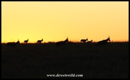 Blesbok herd on the run at sunrise (photo by Joubert)