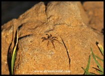 Joubert captued this spider sunning on a rock in the early morning
