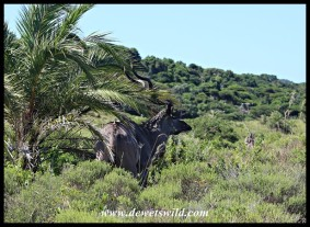 Kudu hiding in the shade of a small Wild Date Palm