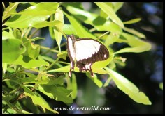 A Flying Handkerchief - the male Mocker Swallowtail