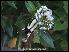 A Flying Handkerchief - the male Mocker Swallowtail
