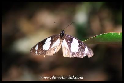 Novice butterfly (photo by Joubert)