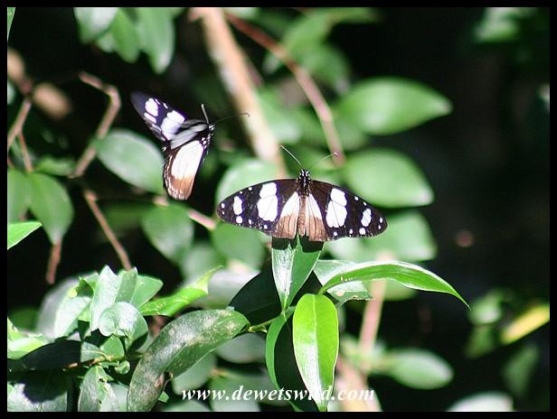 Novice butterflies (photo by Joubert)
