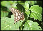 Small-striped Swallowtail
