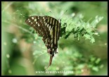 Small-striped Swallowtail (photo by Joubert)