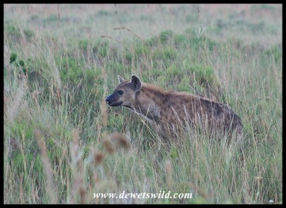 Spotted Hyena (photo by Joubert)