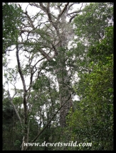 "The ""Big Tree"" of the Tsitsikamma Forest - Outeniqua Yellowwood (Podocarpus falcatus)"