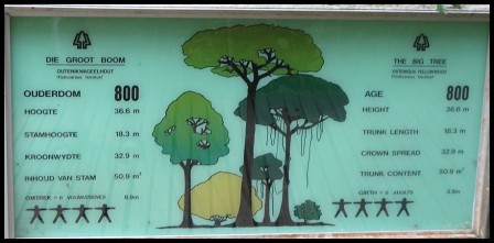 "The ""Big Tree"" of the Tsitsikamma Forest - Outeniqua Yellowwood (Podocarpus falcatus)"