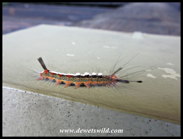 Unidentified caterpillar, probably of a moth species