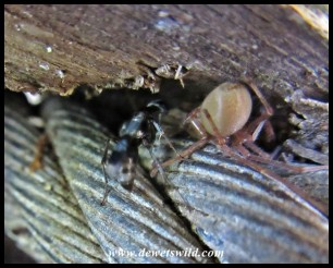 Wasp and Sac Spider prey