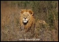 Lion at the Rhino & Lion Nature Reserve, April 2021