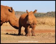 White rhino calf at the Rhino & Lion Nature Reserve, April 2021