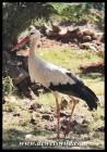 White Stork (photo by Joubert)