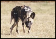 Wild Dog (Photo by Joubert)