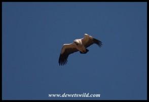 Cape Vulture (photo by Joubert)